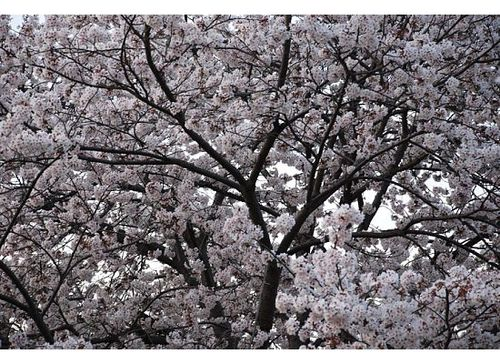 Sakura aplenty
