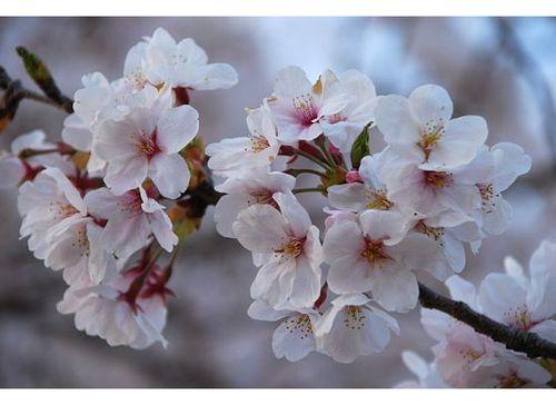 Closeup sakura