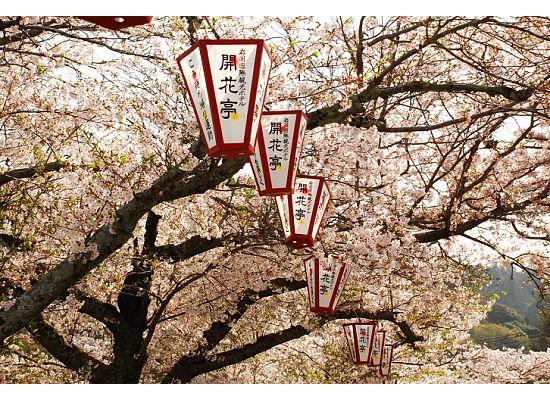Sakura lanterns